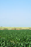Corn field. Beautiful cornfield with a blue sky Royalty Free Stock Photos