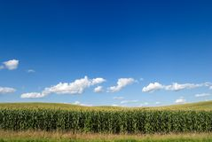 Corn Field. With a cloudy blue sky overhead Royalty Free Stock Image