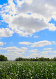 Corn field. With the blue cloudy sky Royalty Free Stock Photos