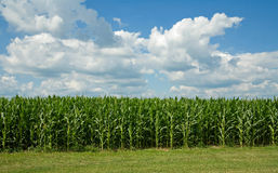 Free Corn Field Royalty Free Stock Image - 6064386