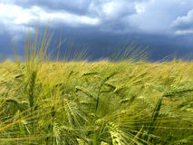 Corn field. With cloudy sky Stock Image