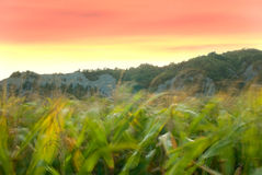 Corn field. In the wind. Nice sunset colors Stock Photography