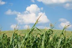 Corn Field. Corn stalks closeup in a corn field with a cloudy blue sky Stock Photo