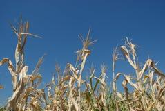 Free Corn Field Royalty Free Stock Photos - 6404128