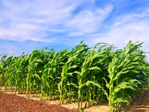 Corn field. Green Corn field and blue sky Royalty Free Stock Images