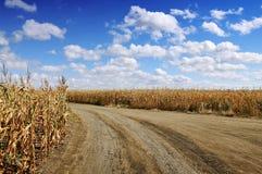 Corn field Royalty Free Stock Photography