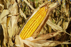 Corn in the Field. An ear of corn on the stalk in a field ready for harvesting Stock Image