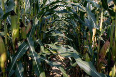 Corn on field. Ripening corn on the field in summer Royalty Free Stock Photos