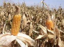 Free Corn Field Stock Photos - 8031823