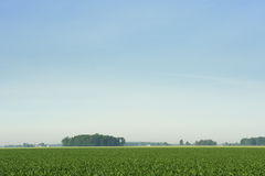 Corn Field. Rural corn field in mid summer Royalty Free Stock Photography