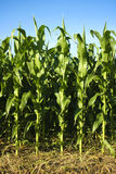 Corn Field. Looking at corn stalks from the edge of the field stock image