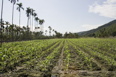 Corn Field. Corn or maize, growing tall in a field.  The field is bordered by palm trees.  Corn has many uses including food, feed for animals and biofuel Royalty Free Stock Photos