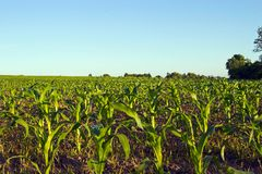 Corn Field. Young corn plants in a field Stock Images