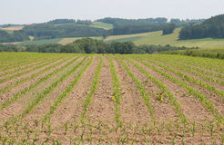 Corn field. Country field with young plants of corn Stock Photography