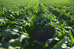 Corn Field. Rows of corn in a corn field Stock Images