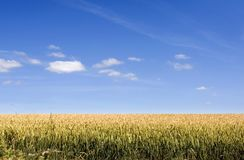 Corn Field. With blue sky Stock Photography