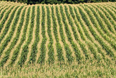 Corn Field From Above Royalty Free Stock Photo