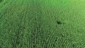 Corn field aerial view stock video
