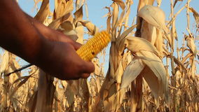 Corn Field. Affected by drought stock footage