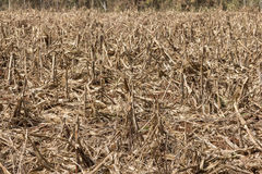 Corn field affected by drought Stock Photography