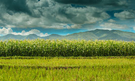 Corn Field Against Blue Cloudy Sky Royalty Free Stock Images
