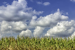 Corn field Royalty Free Stock Image