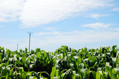 Corn field against blue sky with clouds. Corn field against the blue sky with clouds Stock Photos