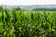 Corn field against distant hills Royalty Free Stock Photos