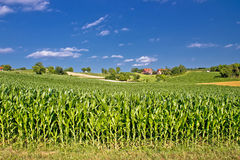 Corn field in agricultural rural landscape Royalty Free Stock Image
