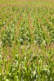 Corn field - Stock Photography