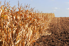 The Corn field Royalty Free Stock Photos