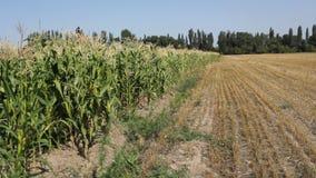 Corn Field stock video footage