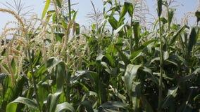 Corn Field stock footage