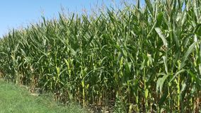 Corn field agriculture stock footage