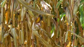Corn field agriculture stock video footage