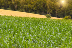 Corn field agriculture.Rural farm land in summer. Plant growth. Stock Photo