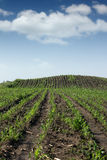 Corn field agriculture Royalty Free Stock Image
