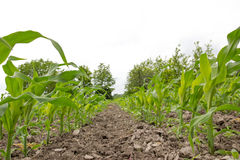 Corn field agriculture Stock Photos