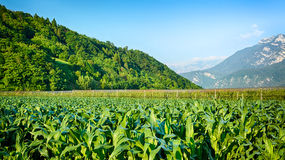 Corn Field in an Alpine Valley Stock Photography