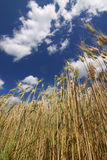 Corn on the field and amazing sky Stock Images