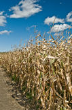 Corn field in autumn Stock Photos
