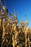 Corn Field in Autumn Stock Photography