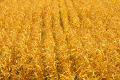 Corn field in an autumn background Royalty Free Stock Photo