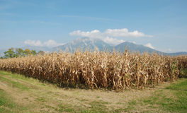 Corn Field in Autumn Royalty Free Stock Image