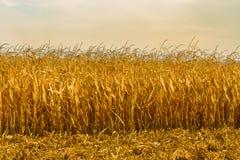 Corn field in autumn season Royalty Free Stock Image