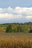 Corn field in autumn Royalty Free Stock Photos