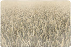 Corn field background Royalty Free Stock Photos