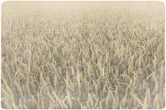 Corn field background Royalty Free Stock Photos