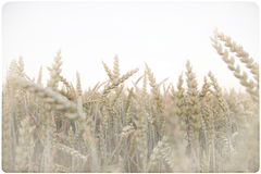 Corn field background Stock Images