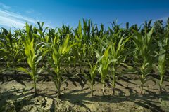 Corn field _Baden-Wuerttemberg, Germany Stock Images
